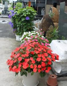 花サンパチェンス
