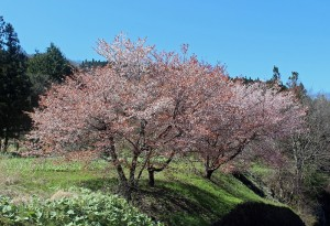 桜 お気に入り