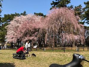 敷島公園桜2