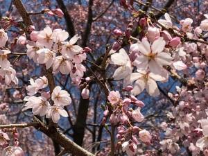 敷島公園桜1